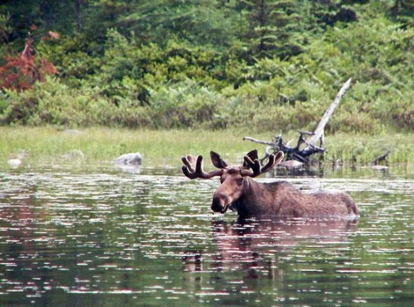 Moose Sighting Cape Breton Nova Scotia