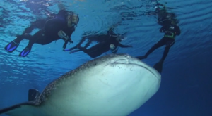 Whale Sharks Georgia Aquarium