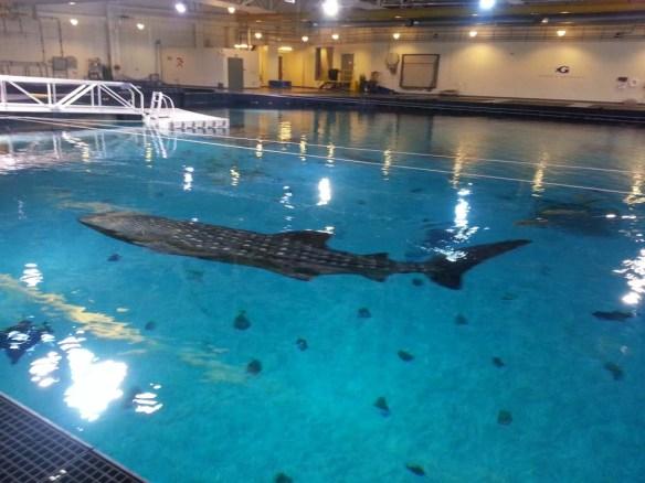 Georgia Aquarium Whale Shark