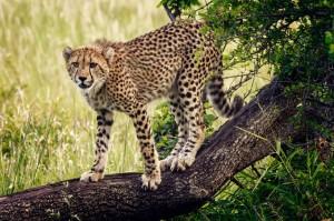 phinda-safari-agressive-cheetah