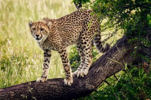 phinda-safari-agressive-cheetah