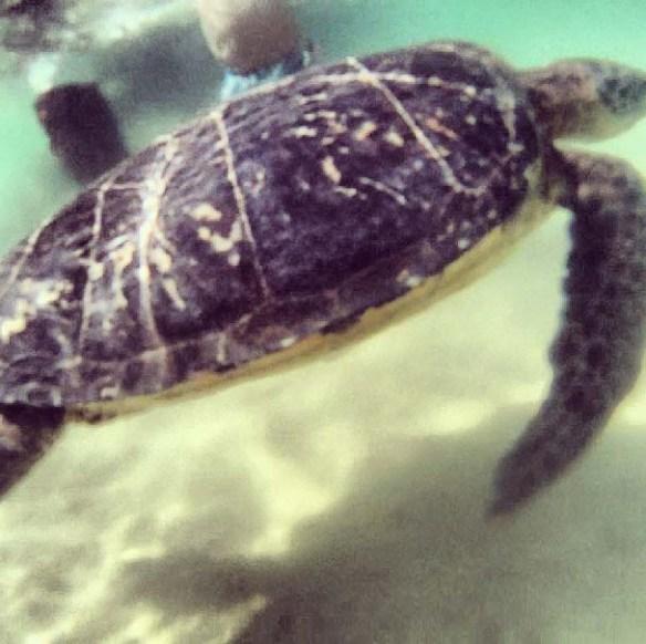 Hilton Waikoloa Village Turtles