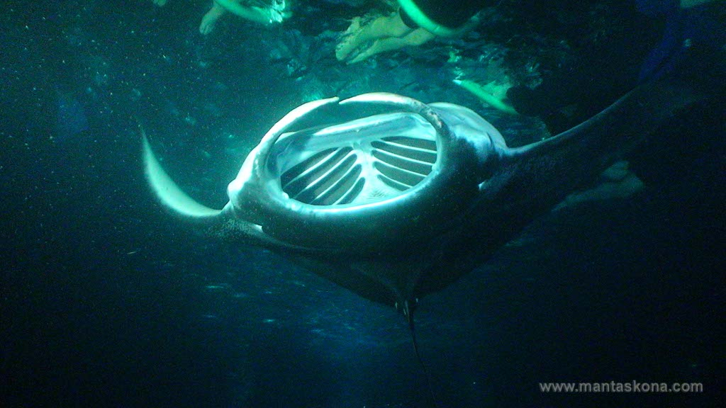 Manta-Ray-Night-Dive---Hula-Kai