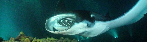 Manta-Snorkel---Hawaii