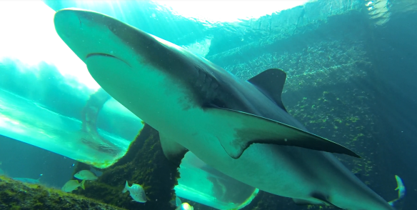 Sea Trek Walk with Sharks