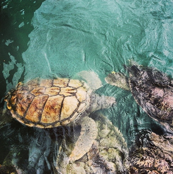 large turtles at the cayman turtle farm bucket list