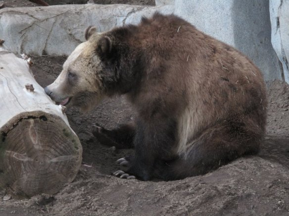 Bear at San Diego Zoo
