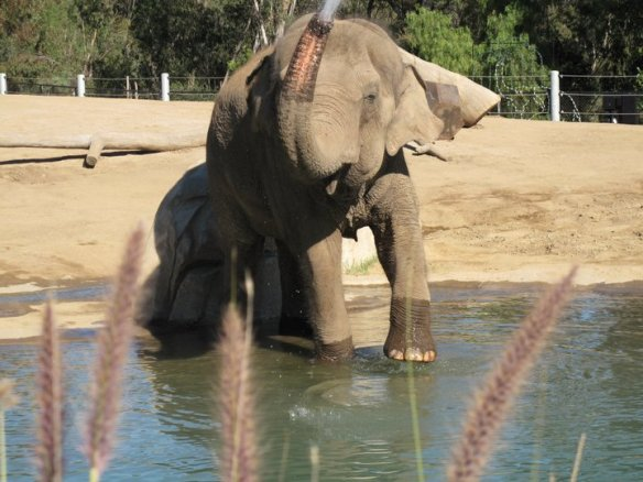 Elephant at San Diego Zoo