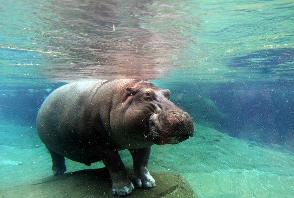 Hippo at San Diego Zoo