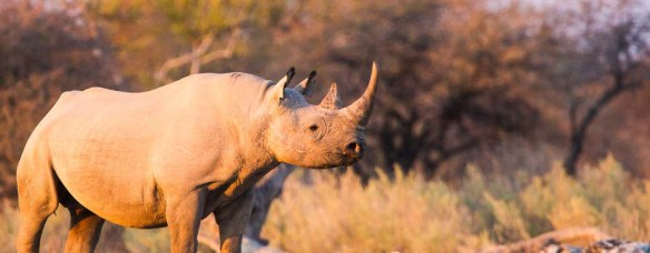 Black-Rhino,-Etosha-National-Park