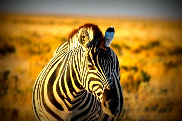 Etosha National Park Zebra