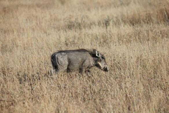 Warthog Etosha National Park