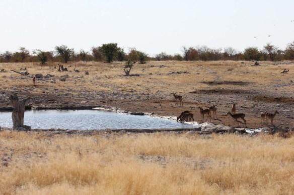 Impala Etosha National Park