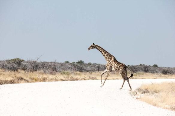 Etosha National Park Giraffe