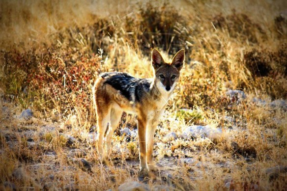 Jackal at Etosha National Park