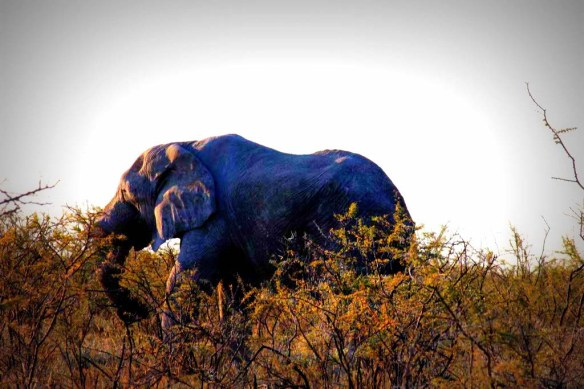 Elephant in Etosha National Park