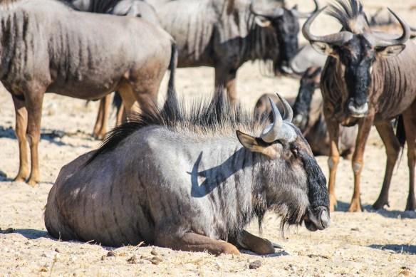 Wildebeest at Etosha National Park