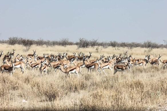 Herds at Etosha National Park