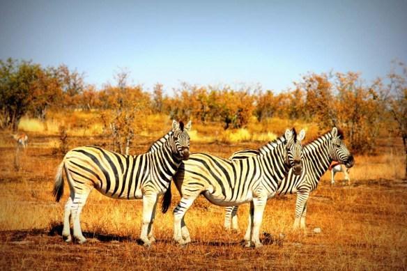 Zebra Etosha National Park, Namibia