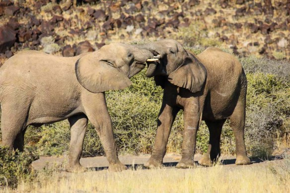 Elephants around Doro Nawas Camp, Namibia
