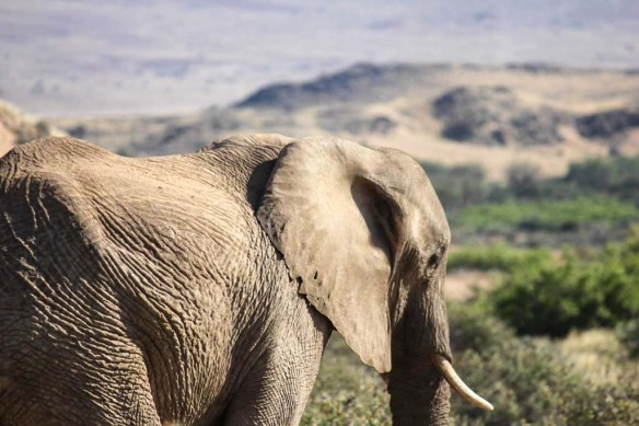Elephants around Doro Nawas Camp