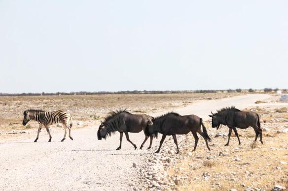 Wildebeest,-Etosha-National-Park