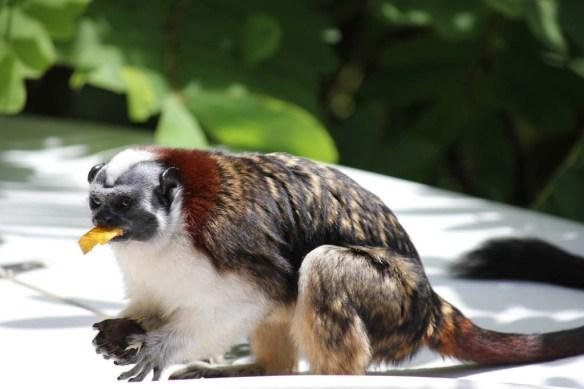 Monkeys in the Gamboa Rainforest