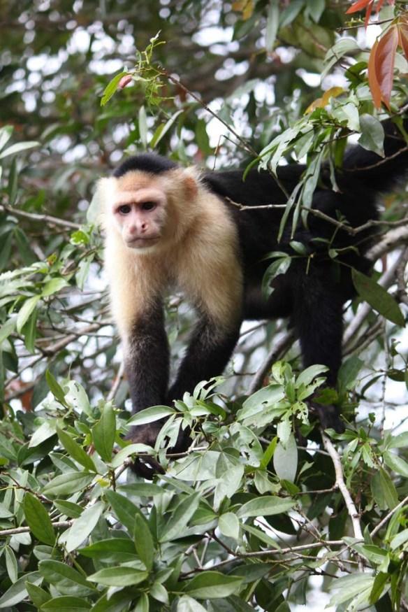 Monkeys in the Gamboa Rainforest, Panam