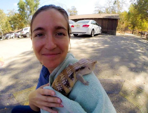 Blue Tongued Skink At Alisal Guest Ranch