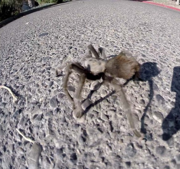 Tarantula at Alisal Guest Ranch
