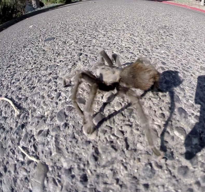 Tarantula at Alisal Guest Ranch