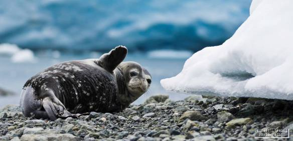 A Playful Seal in Antarctica