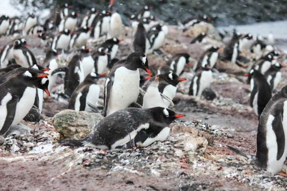 Altcho Landing Penguins on the Beach