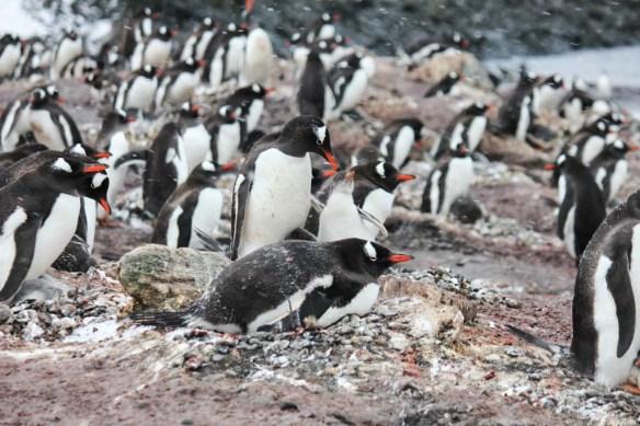 Altcho Landing Penguins on the Beach