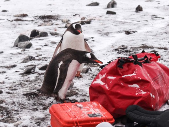 Penguins Checking out our Bags in Antarctica