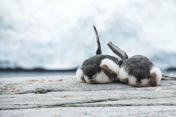 Curious Penguins
