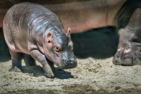 Hippo Calf at San Diego Zoo