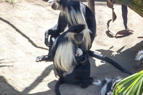 Monkey Baby at San Diego Zoo