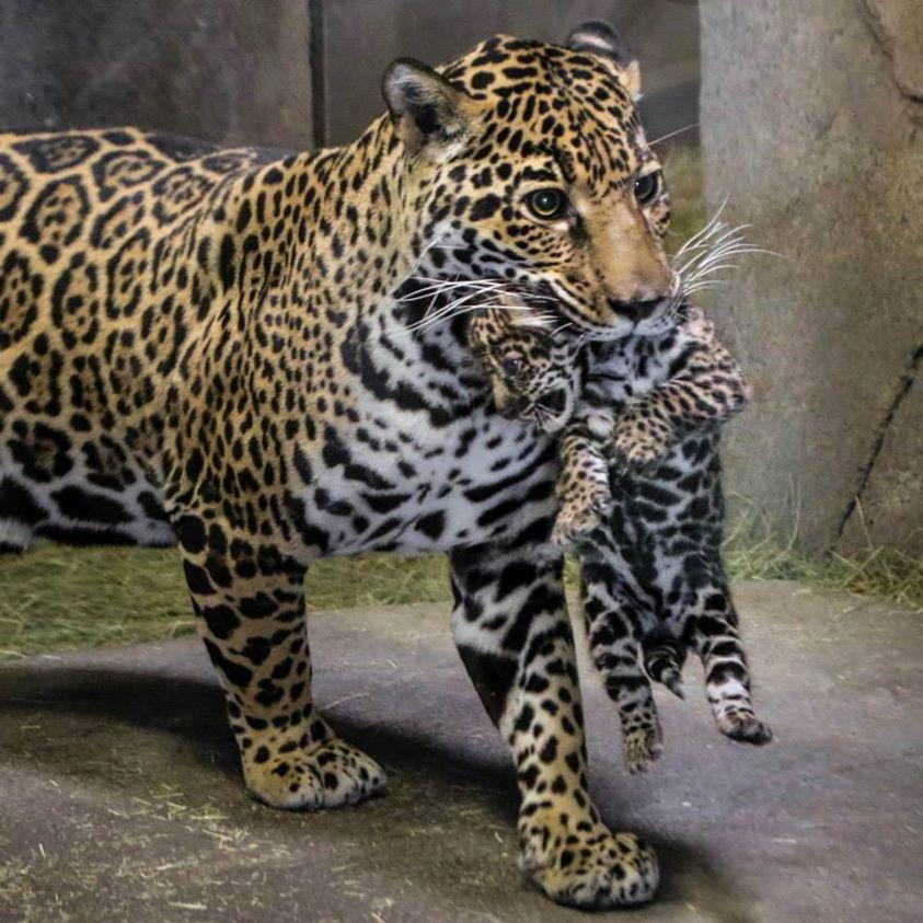 Superior San Diego Zoo Jaguar Cub