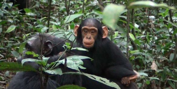 Baby Chimp on Mom, Uganda