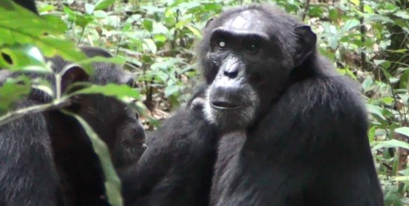 Chimp Leader in Uganda