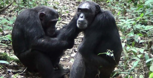 Chimps cleaning in Uganda