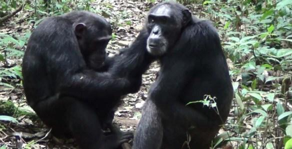 Chimps cleaning in Uganda