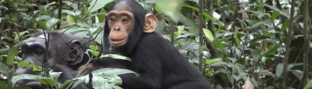 Chimpanzee Trekking in Kibale, Uganda