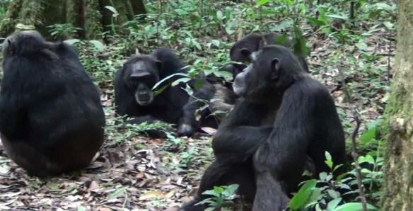 Chimps in Uganda