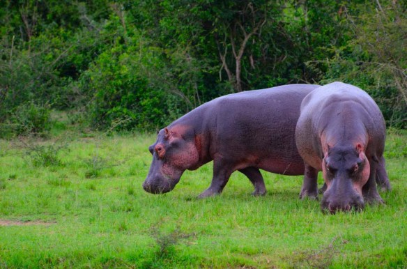 Hippos in Queen Elizabeth National Park