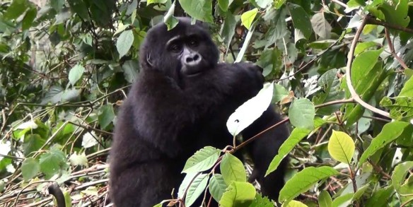 Male Mountain Gorilla in Uganda