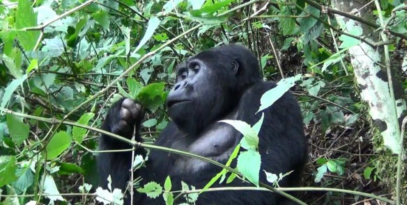 Male gorilla in Bwindi National Park