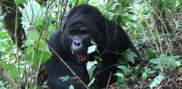 Male gorilla resting in the bushes in Bwindi