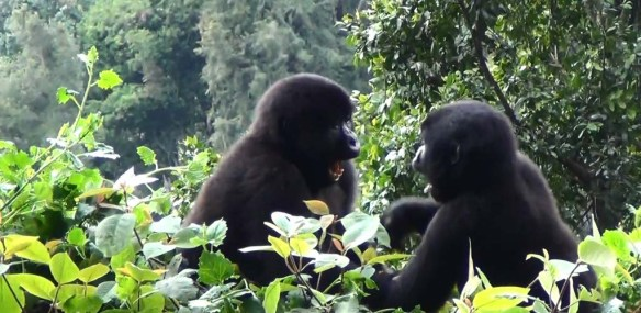 Male Gorillas in Bwindi National Park, Uganda